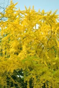 黄金色に輝くイチョウの木