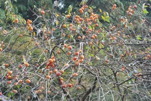 今年はたくさんの実がついた柿