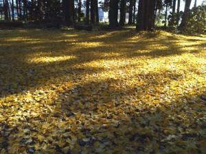 イチョウの葉による黄色の絨毯 ①