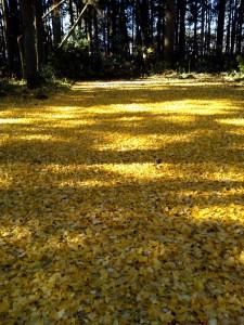 黄色の絨毯 ②