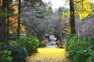 2012年の黄金色の絨毯