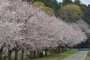 ミューズの森と桜並木③