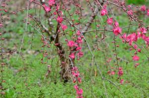 庭の枝垂れ桃①