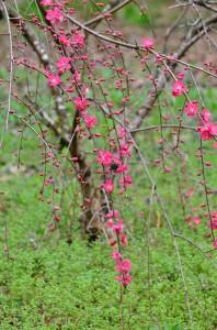 庭の枝垂れ桃②