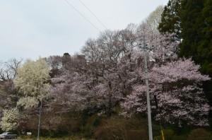 無量寿寺の桜①