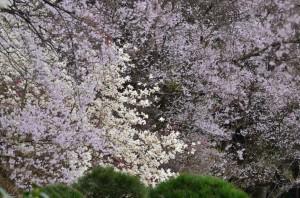 無量寿寺の桜②