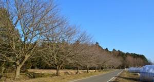 桜並木とミューズの森