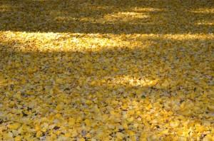 黄色の絨毯①