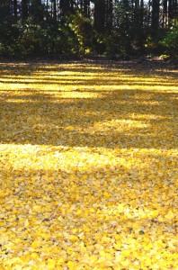 黄色の絨毯②