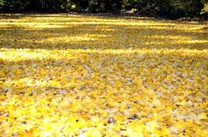 黄色の絨毯③