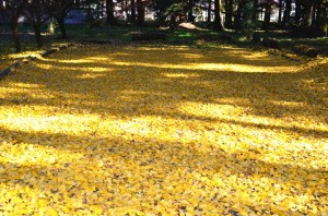黄色の絨毯④