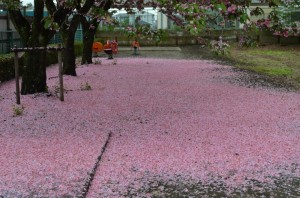 ピンクの絨毯①