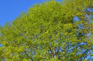 快晴と新緑のシラカバ
