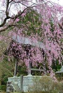 無量寿寺のしだれ桜
