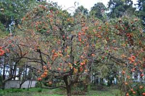 今年の柿①