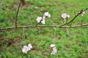 サクランボの花②