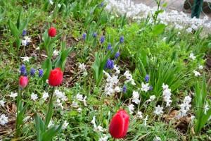 チューリップ、ムスカリ、にら花